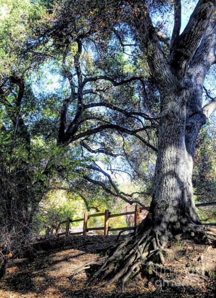 Wall Art - Photograph - Oak Tree Vasona Park Los Gatos  by Chuck Kuhn