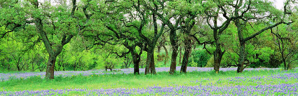 Wall Art - Photograph - Oak Trees In Lupine Flowers Field by Panoramic Images