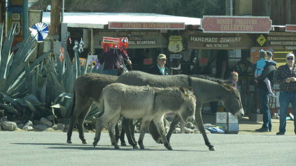 Wall Art - Photograph - Oatman Arizona Burros 2 by Kay Novy