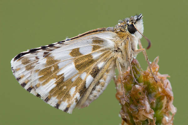Wall Art - Photograph - Oberthurs Grizzled Skipper by David Hosking