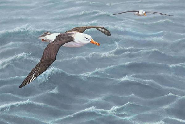 Painting - Ocean Flight Seabirds By Alan M Hunt by Alan M Hunt
