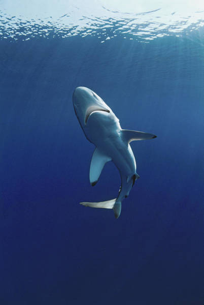 No One Wall Art - Photograph - Oceanic Blacktip Shark by Jeff Rotman