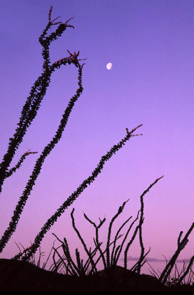 Wall Art - Photograph - Ocotillo And The Moon by Ellen&richard Thane