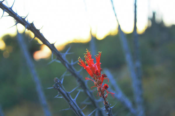 Photograph - Ocotillo Bloom by Chance Kafka