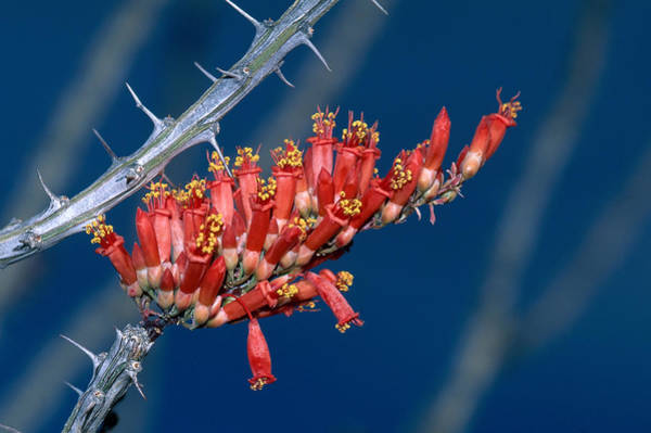 Wall Art - Photograph - Ocotillo Blossoms by Michael Lustbader