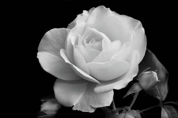 Wall Art - Photograph - October Rose by Terence Davis