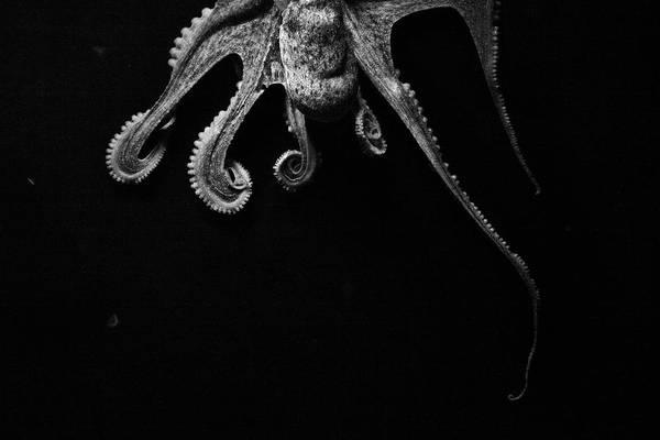 Underwater Scene Photograph - Octopus by Arnon Toussia-cohen
