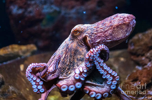 Wall Art - Photograph - Octopus In Water by Olga Visavi