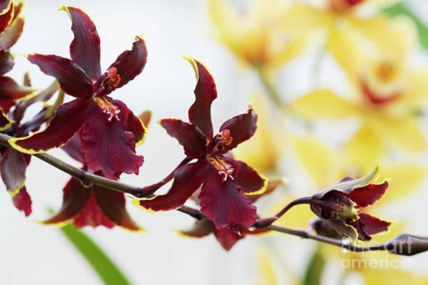 Photograph - Odontocidium Wildcat Bobcat Flowers  by Tim Gainey
