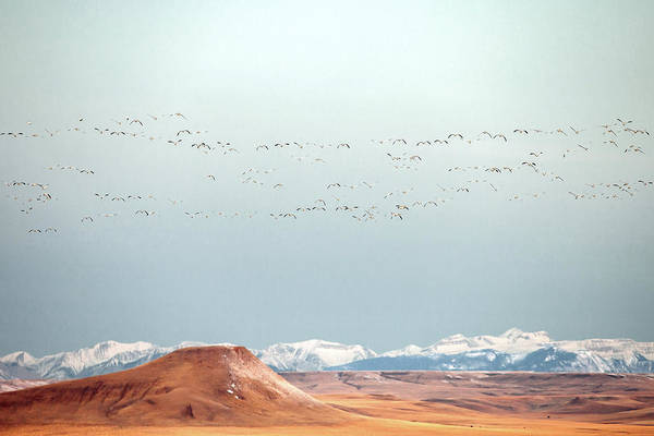 Swan Photograph - O'er The Mountains by Todd Klassy