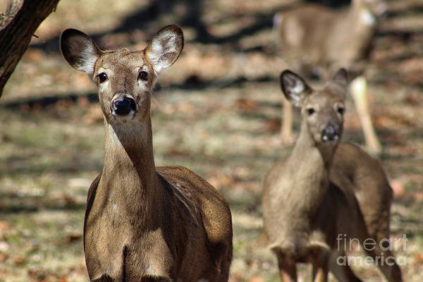 Photograph - Oh Deer by Karen Adams