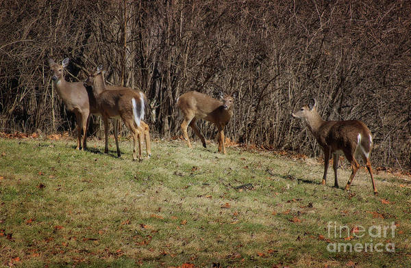 Photograph - Oh Deer, Oh Deer, Oh Deer, Oh Deer by Karen Adams