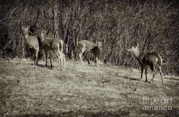 Photograph - Oh Deers, Black And White by Karen Adams