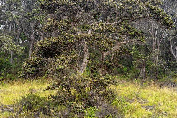 Photograph - Ohia Tree by Christopher Johnson