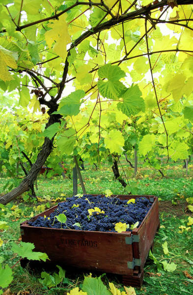 Okanagan Wall Art - Photograph - Okanagan Valley Vineyard Bin Grapes by Laughingmango