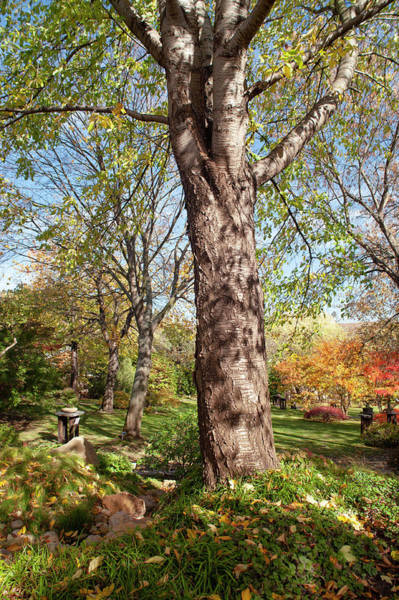 Photograph - Old Acer Tree In Japanese Garden by Jenny Rainbow