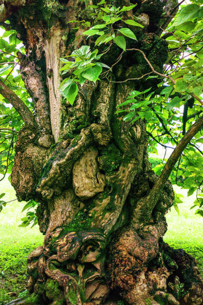 Old Catalpa Tree _ Chatham_3893_18 Art Print