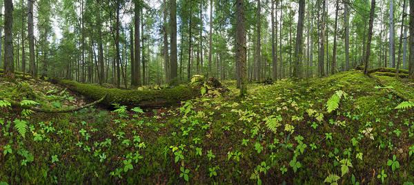 Cedar Tree Photograph - Old Cedar-hemlock Forest, British by Eastcott Momatiuk