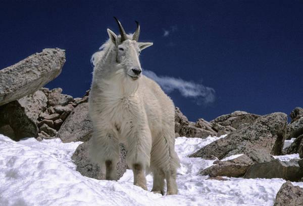 Fourteener Photograph - Old Goat On Mt. Evans by S Katz