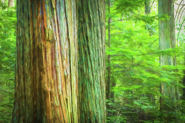 Wall Art - Photograph - Old Growth Cedars Glacier National Park 100 by Rich Franco