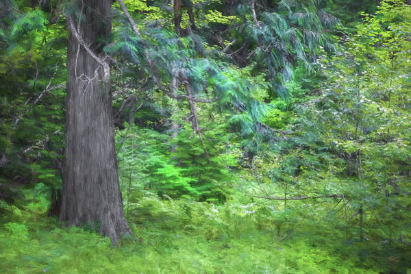 Wall Art - Photograph - Old Growth Cedars Glacier National Park 101 by Rich Franco