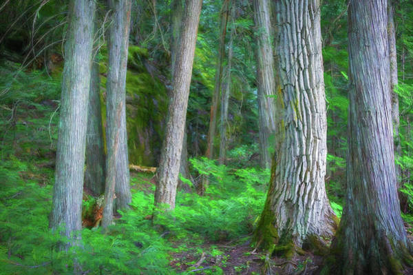 Wall Art - Photograph - Old Growth Cedars Glacier National Park 108 by Rich Franco