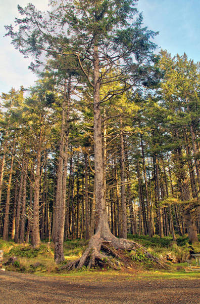Camera Raw Photograph - Old Growth Forest Leader by Brenton Cooper