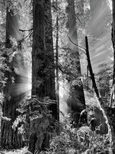 Wall Art - Photograph - Old Growth Forest Light Black And White by Leland D Howard