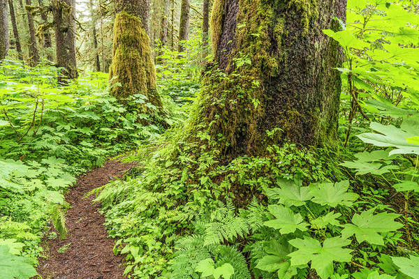 Wall Art - Photograph - Old Growth Forest, Sitka Spruce by John Hyde