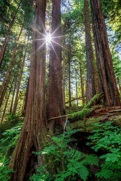 Wall Art - Photograph - Old Growth Forest With Sunburst, Sitka by John Hyde