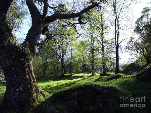 Photograph - Old Highland Birchwood by Phil Banks
