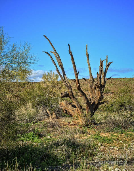 Wall Art - Photograph - Old Ironwood Tree by Robert Bales
