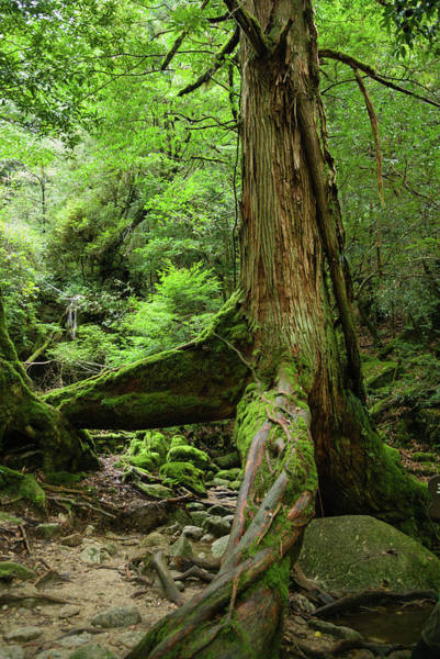 Cedar Tree Photograph - Old Japanese Ceder Tree In A by Ippei Naoi
