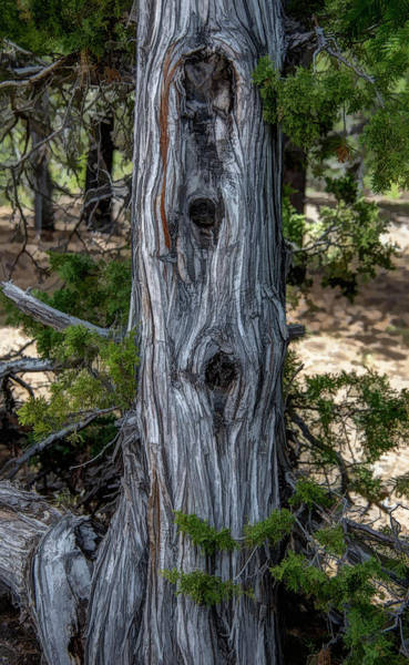 Knot Hole Photograph - Old Knotted Tree by Jennifer Stackpole
