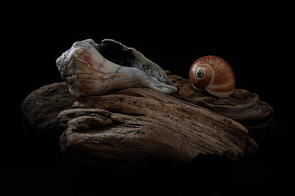 Photograph - Old Lightning Whelk And Snail Shells by Richard Rizzo