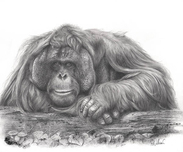 Drawing - Old Man Of The Forest by Peter Williams
