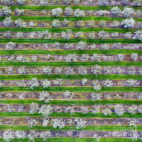 Wall Art - Photograph - Old Mission Cherry Farm Aerial Square by Twenty Two North Photography