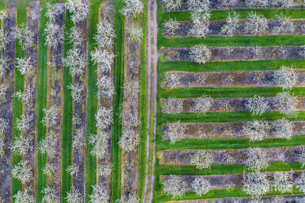 Wall Art - Photograph - Old Mission Cherry Farm Aerial by Twenty Two North Photography