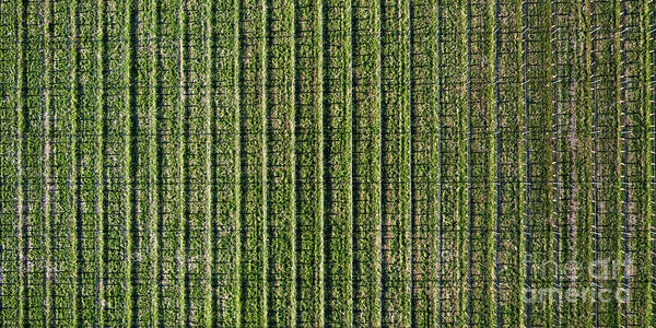 Wall Art - Photograph - Old Mission Peninsula Vineyard Aerial by Twenty Two North Photography
