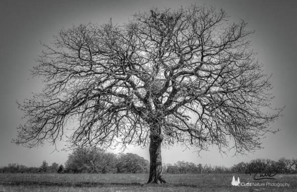 Photograph - Old Oak by David Cutts
