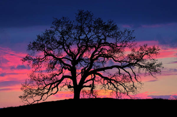 Photograph - Old Oak Sunset by John Rodrigues