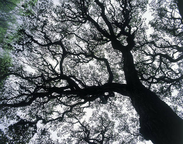Branch Photograph - Old Oak Tree Limbs Against The Sky, Tx by Don Grall