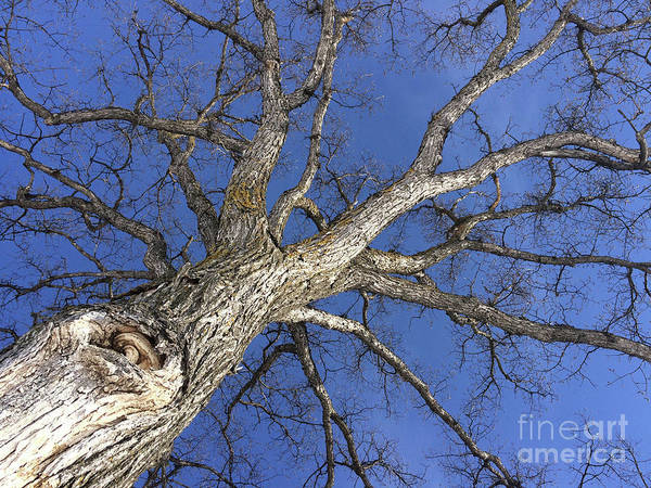 Photograph - Old Oak Tree by Mary Mikawoz