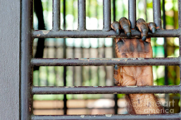 Prison Photograph - Old Orangutan Hand In The Old Grunge by Tinnapong