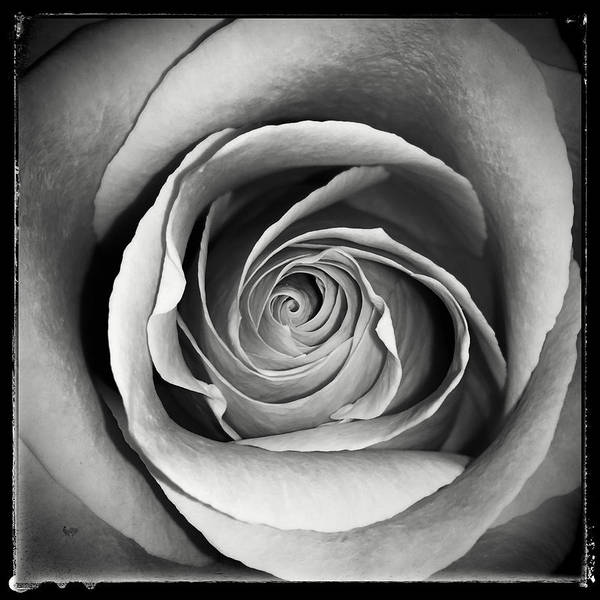 Photograph - Old Rose by Nathan Little