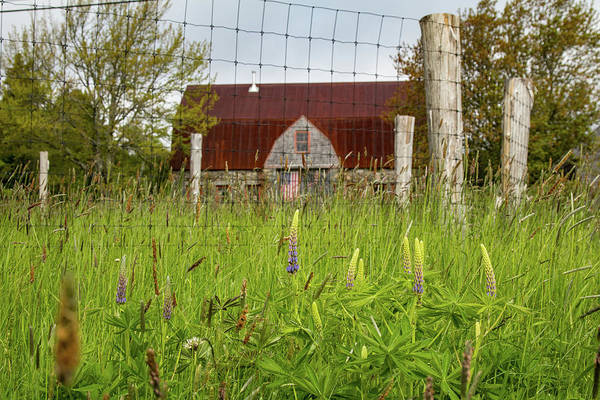 Photograph - Old Stone Barn In Acadia Lupines by Jeff Folger