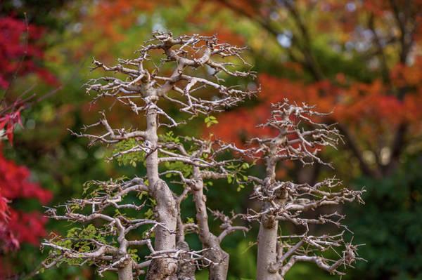 Photograph - Old Tree Bonsai  1 by Jenny Rainbow