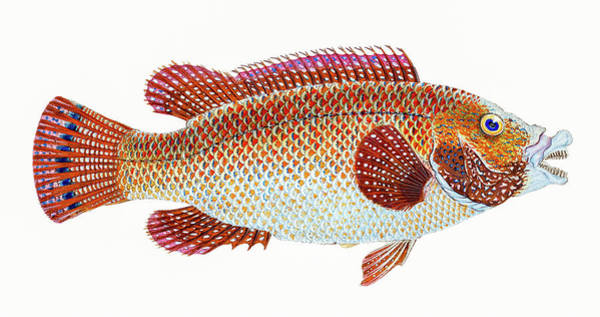 Drawing - Old Wife Wrasse  by David Letts