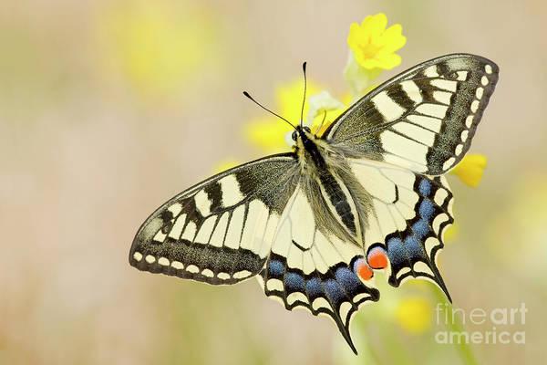 Wall Art - Photograph - Old World Swallowtail Papilio Machaon by Karin Rollett-vlcek