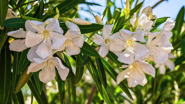 Photograph - Oleander Flowers H1929 by Mark Myhaver